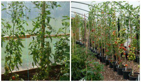 интердетерминантные томаты