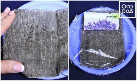 Стратификация семян лаванды