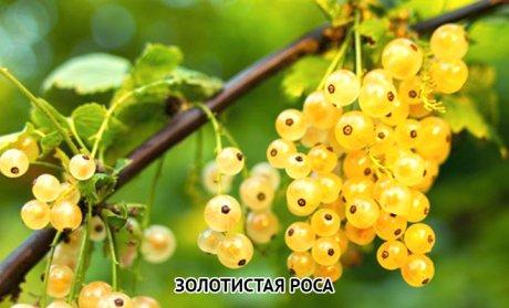смородина белая Золотистая роса