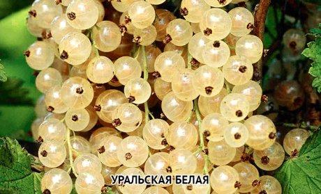 смородина белая Уральская белая