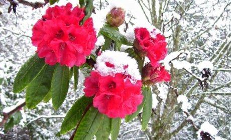 Рододендрон под снегом