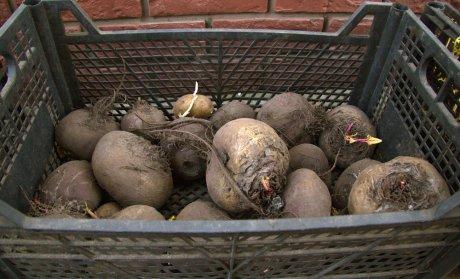 картошка и свекла