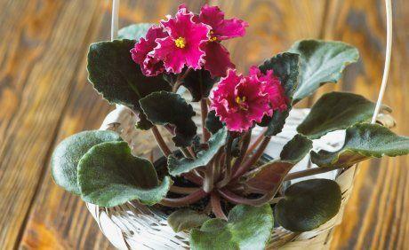 Сенполия, цветок, комнатное растение