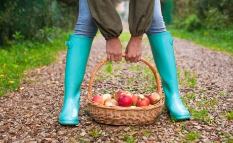 уборка яблок