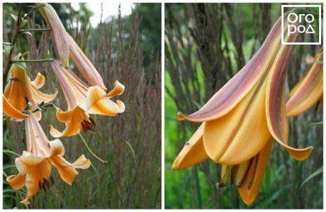 Трубчатые лилии Африкан квин