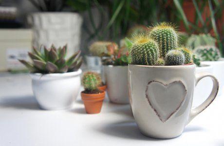 Кактус, цветок, комнатное растение