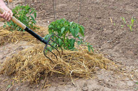 Мульчирование помидоров сеном
