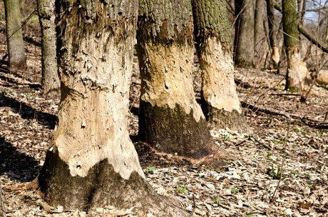 следы зубов бобра на деревьях