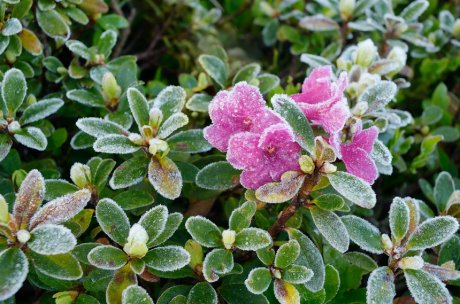 куст рододендрона зимой