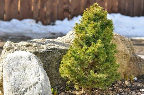 Карликовая елка