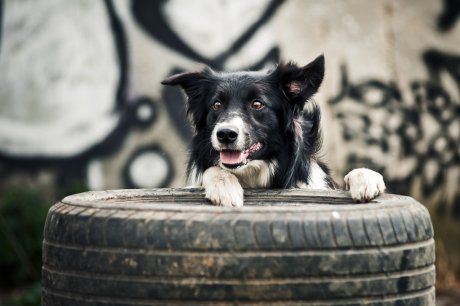 Собака на покрышке