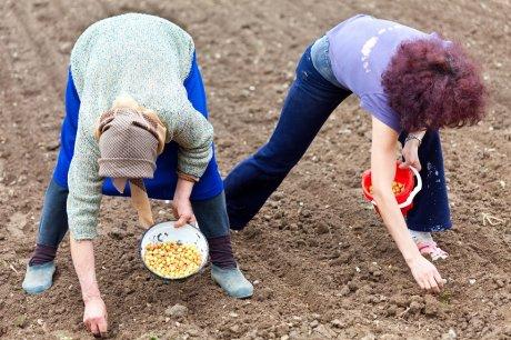 Женщины сажают лук
