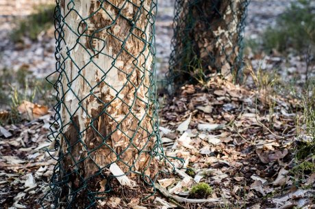защита деревьев от бобров
