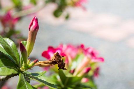 рододендрон цветы