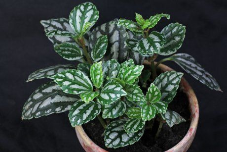 Пилея Кадье, цветок, комнатное растение