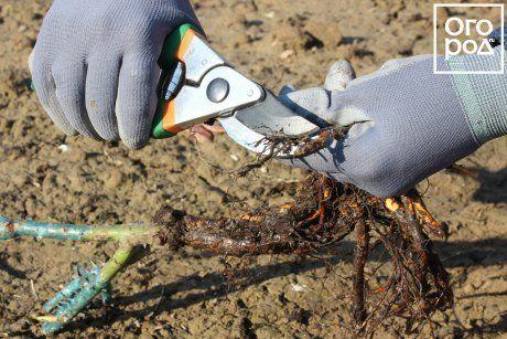 Обрезка корней саженцев роз перед посадкой