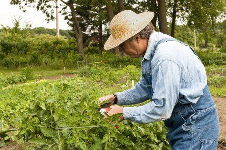 Обрезка и пасынкование помидоров