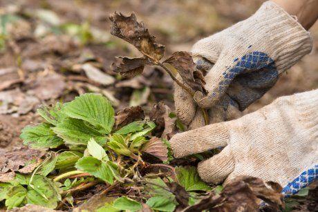 Удаление засохших листьев