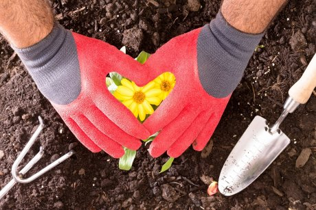 Gardener making a heart shape with his red gloved hands above a bush of bright colorful yellow butter daisies as he transplants them into the soil - Butter Daisies In My Heart