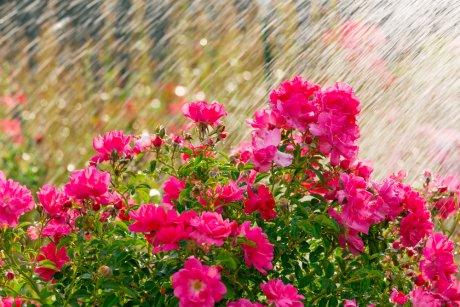 Полив роз