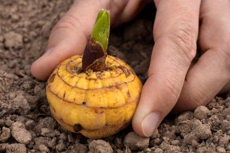 Луковицы гладиолусов для посадки