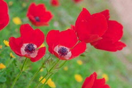 первоцветы которые не нуждаются в уходе анемона