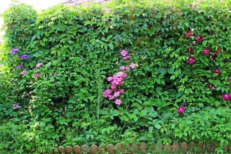 Живая изгородь из клематисов