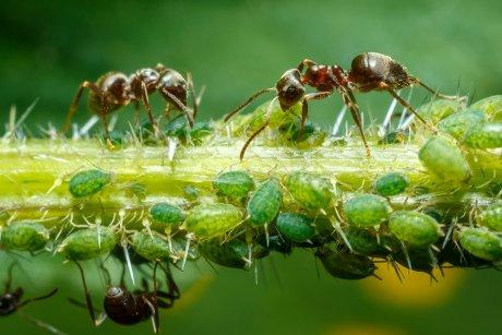 муравьи и тля взаимодействие средства от муравьев