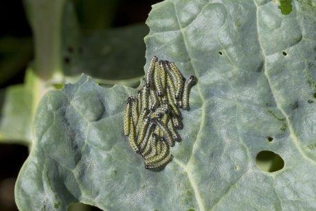 гусеницы капустной белянки