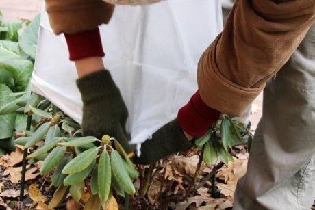 укрывать рододендрон на зиму