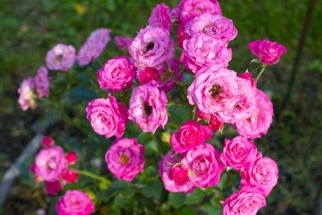 Роза Лавли Лидия (Lovely Lidia)