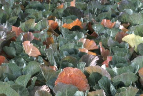 Нехватка калия у капусты