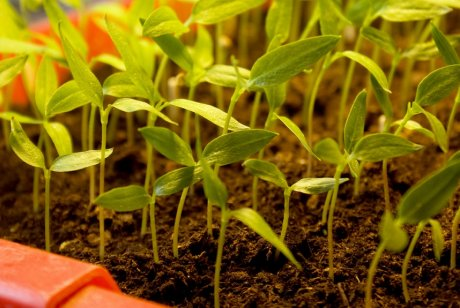 Sprouts of the bulgarian pepper in a fertile nutritious ground