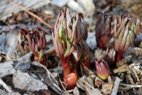 ростки пиона под старыми листьями