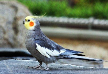 говорящие попугаи корелла