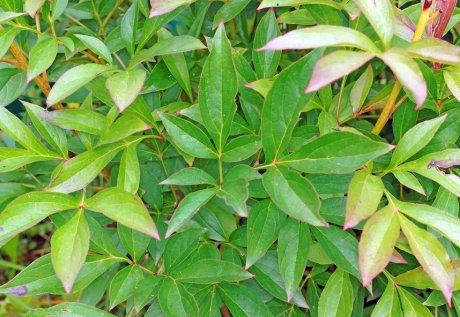 листья пионов