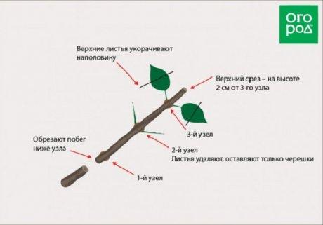 черенкование гортензии осенью
