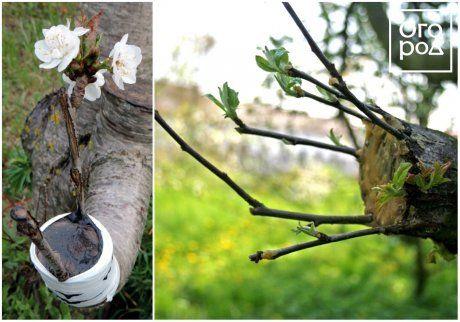 Прививка плодовых деревьев весной, за кору