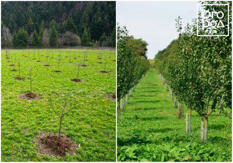 правила посадки яблонь