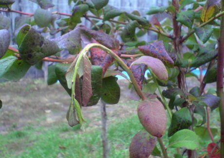 Симптомы рака стебля голубики