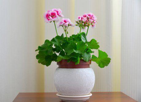 Герань, цветок, комнатное растение