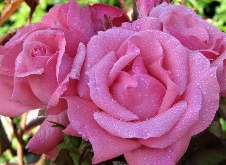 Роза Квин Элизабет