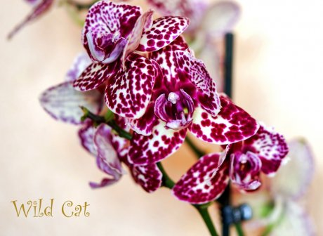 Орхидея фаленопсис пелорик Дикий кот (Wild cat)