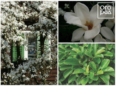 Магнолия голая, или обнаженная (Magnolia denudata)