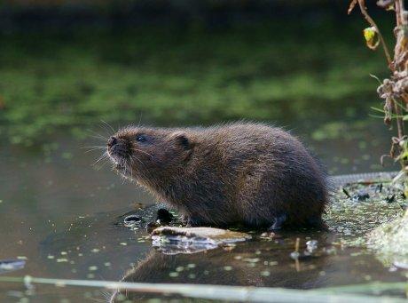 водяная крыса на огороде как избавиться