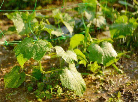 Огурцы под дождем