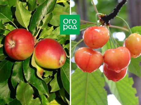Яблоня и черешня