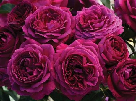 Роза Селестиал найт