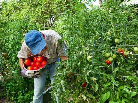 Уборка урожая помидоров