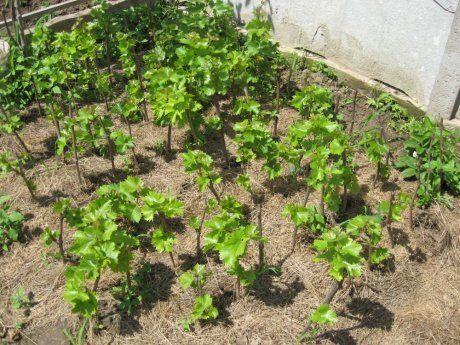 Мульчирование винограда соломой